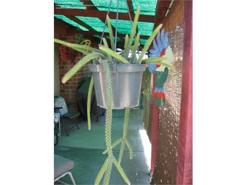 Rat Tail Cactus