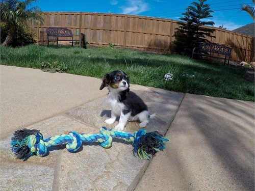 Male Cavalier Puppy!!!