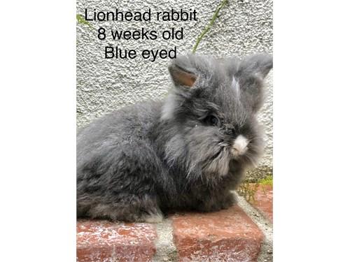 Lionhead Rabbit 8 weeks