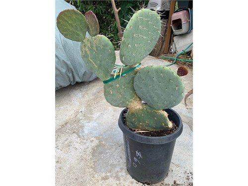 Mickey Mouse Ears Cactus