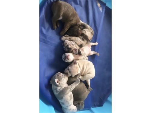 French Bulldogs Merles