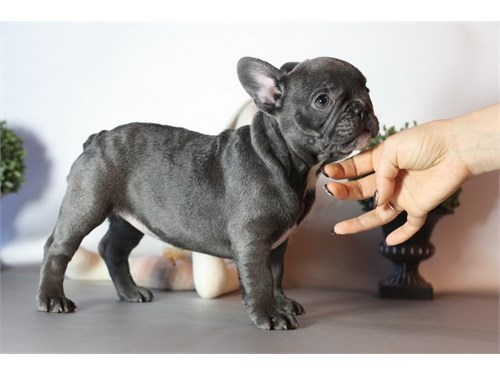 Playful Blue Frenchies