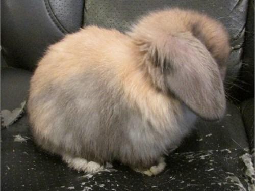 Holland Lop Bunnies!