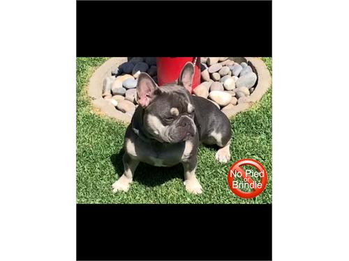 French Bulldog Stud $1500