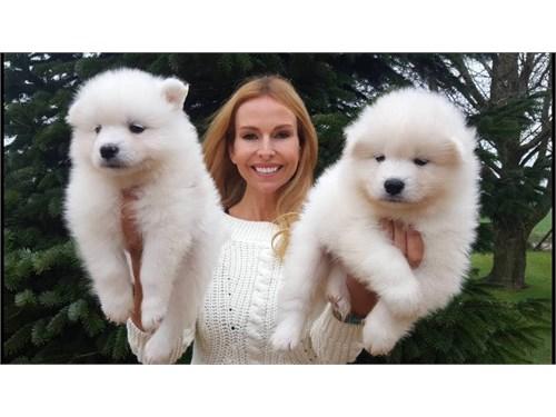 Zisa Samoyed Puppies