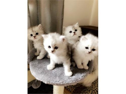 Registered Persian Kitten