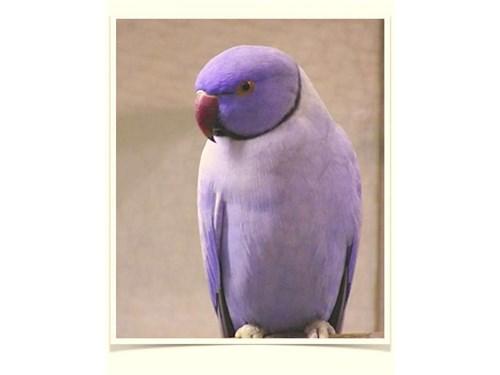 Violet Indian Ringneck