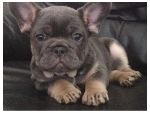 french bulldog male and f