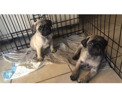 Pug puppies 9 weeks old