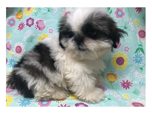 Radian Shih tzu puppies