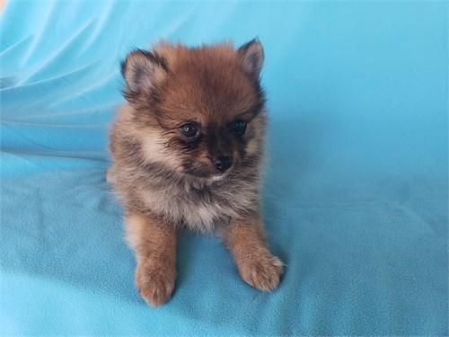 Tiny Pomeranian Male