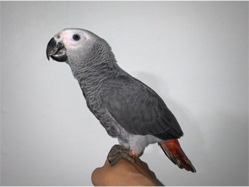Baby African Grey Congo