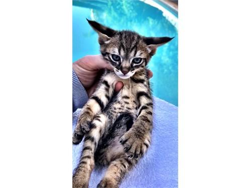 F2 Chausie/Savannah kitty