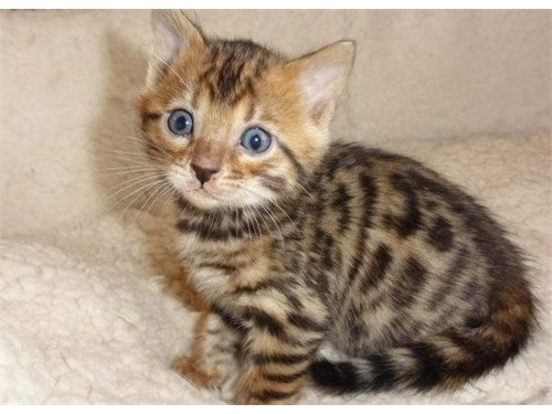 Bengal cats available