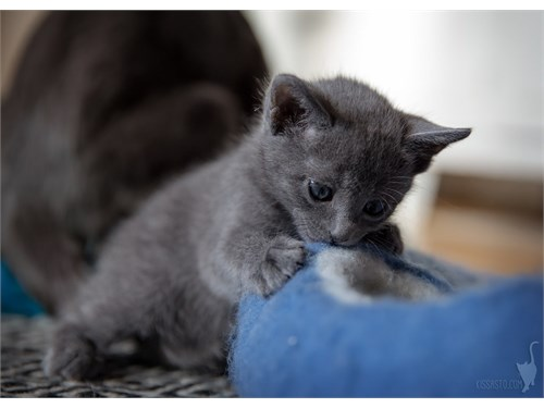 Adorable Russian Blue