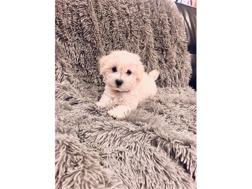 PLAYFUL MALTIPOO PUPPY
