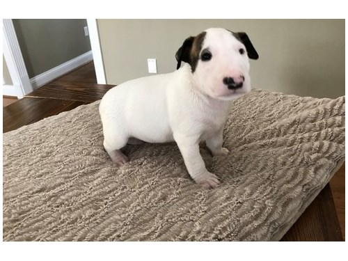 Bull Terrier Puppies For
