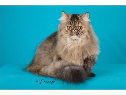 Show Persian 4 Adoption