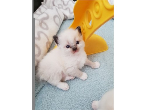 Pure ragdoll kitten