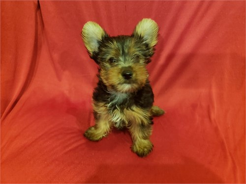 Yorkie Puppies M/F