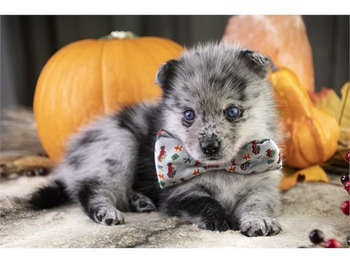 Adorable Pomsky Puppy