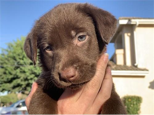 Chocolate AKC Labrador