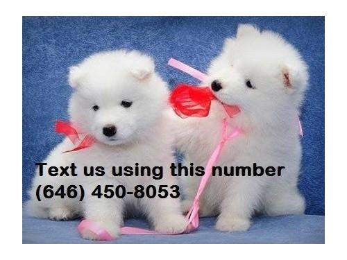 Samoyed Pups available