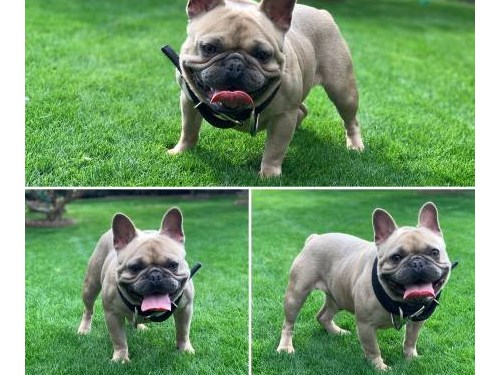 French bulldog stud only