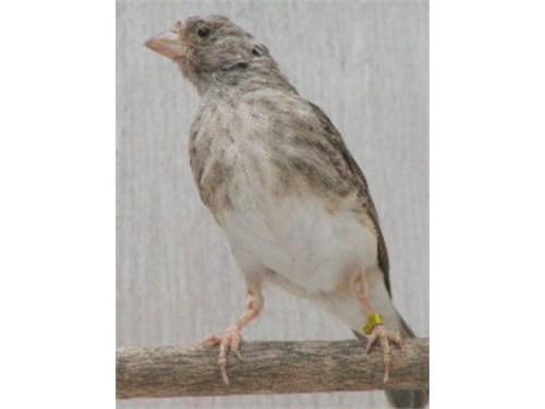 Finch pairs (varieties)