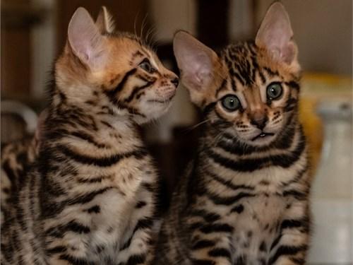 Playful Bengal Kittens