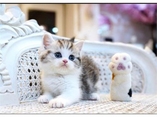 Blessed Munchkin Kittens