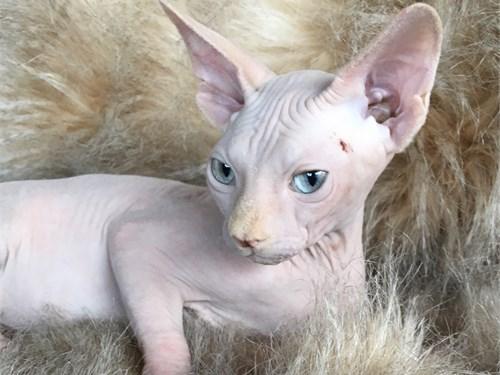 Kitten sphynx CFA reg.