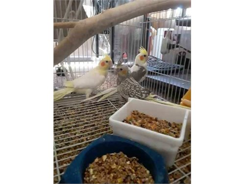 Breed Cockatiel