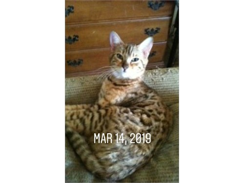 TICA registered  Bengal k