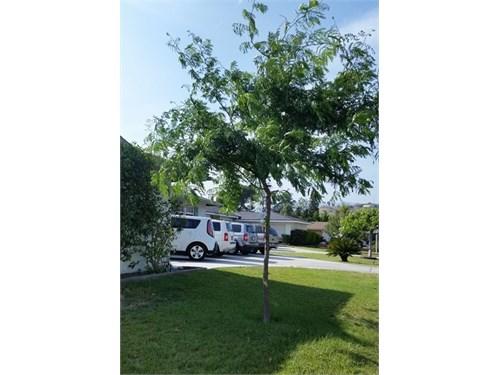 Free Locust Tree