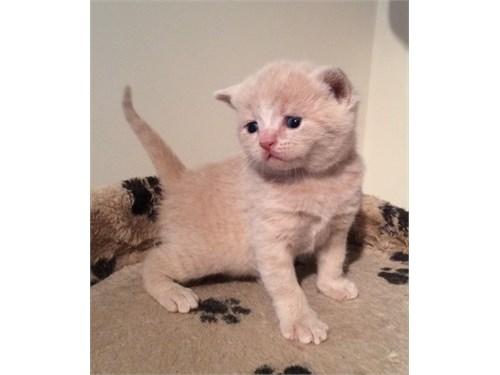Brittish shorthair kitten