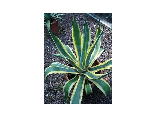 Striped AgaVes