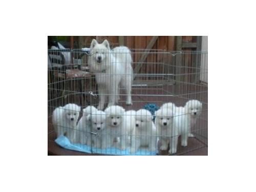home reared Samoyed puppi