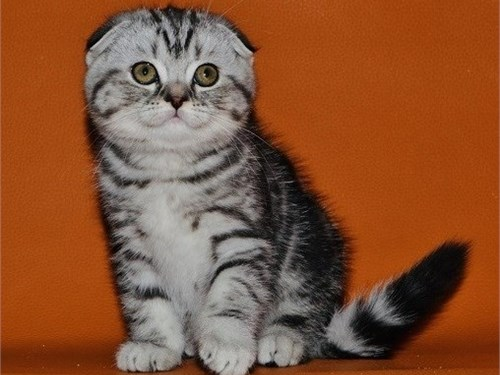 Special Scottish fold