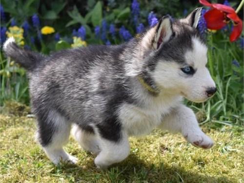 Siberian Husky pus