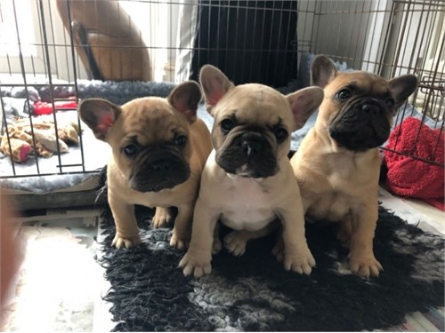 Sweet French Bulldogs