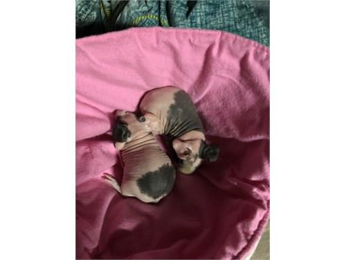 Hairless Guinea Pigs