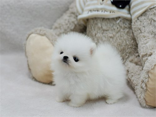 White Fluffy Pomeranian