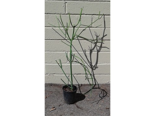 "Pencil Cactus - 28"" tall"