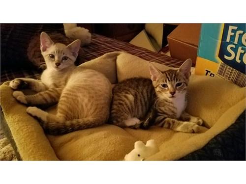 Adorable Indoor Kittens