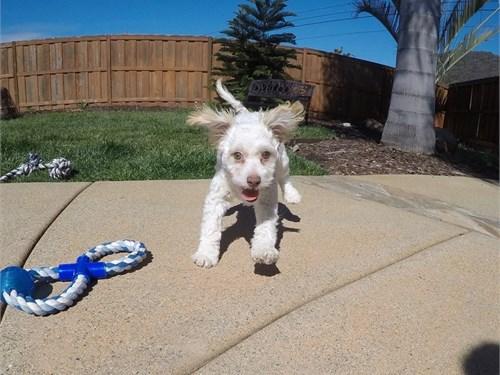 Male Malti Poo Puppy!!!
