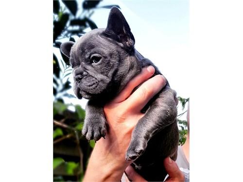 Champion French Bulldog
