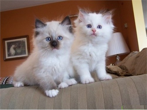Gallant Ragdoll kitty new