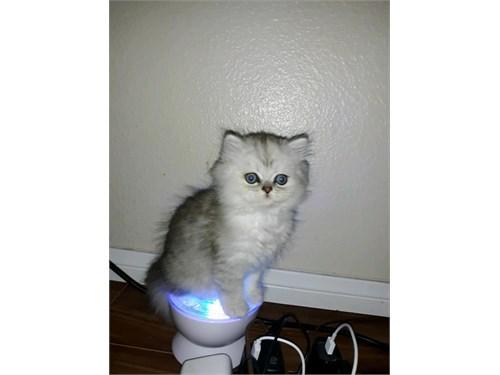 Silver Persian Kitten CFA