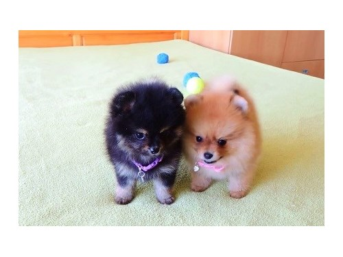Nice Looking Pomeranians